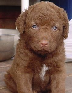 Chesapeke Bay Retriever Pup  ... wish she were mine! Love the baby blue eyes when they are puppies. They turn golden as adults.
