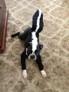 A Boston Terrier dressed as Pepe Le Pew, Skunk Halloween Costume, Check Out these Halloween Costume Ideas for Boston Terrier Dogs! ► http://www.bterrier.com/?p=17459 - https://www.facebook.com/bterrierdogs