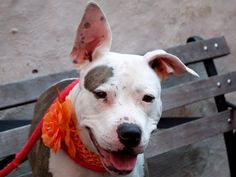 "TO BE DESTROYED 11/3/13 Manhattan Center-P~TRIXIE ID # is A0983103. I am a female white and brown pit bull mix. STRAY on 10/25/2013. 1 YEAR 1 MONTH old -basically STILL A PUPPY!!! . Trixie is a pleasure to be with. She is very interactive and shows that she likes company. She is very demonstrative of her feelings, kisses people away and loves to be hugged tight. She will needs some training on her ""doggy manners"". Trixie would make a great and loving companion to an active owner."