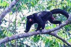 Cuxiú-de-nariz-branco tem pelos negros e focinho vermelho (Foto: Ananda Porto/ TG)