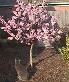 Backyard in pots Dwarf Patio Peach Tree, Im placing one among these (minus the cat) subsequent to my Patio Trees, Trees And Shrubs, Flowering Trees, Trees To Plant, Peach Tree Care, Peach Trees, Dwarf Peach Tree, Dwarf Trees For Landscaping, Spring Blooming Trees