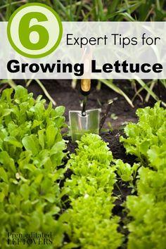 6 Tips for Growing Lettuce in Your Garden - Lettuce is a great beginning gardener's vegetable. Here are some great tips on growing lettuce to get you started.
