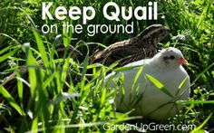 My name is Carole West from Garden Up Green. I'm excited to be here today and share how you can keep quail on the ground in a natural environment.