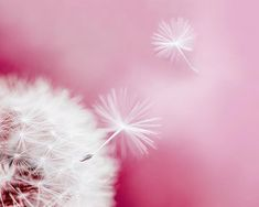 Dandelion Seeds on Pink Background