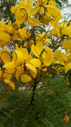 Flores  amarelas,  #jardim #gardem