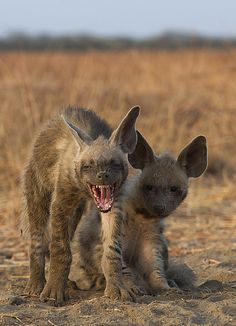 Just an early morning yawn!! Striped Hyena are near threatened by IUCN so the pups are encouraging. At Velavadar Blackbuck Sanctuary.