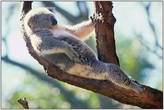 At least this little bloke has a tree to stretch in. Loss of habitat is killing Australian koala populations. Visit Australian Koala Foundation to find out more