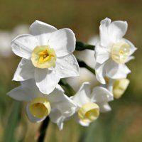 narcissus flower photo: Narcissus f873.jpg