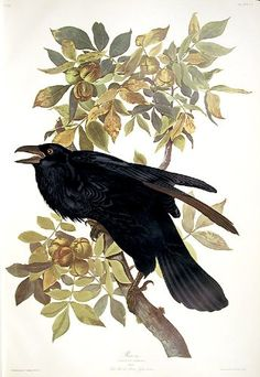 """Raven. """"Birds of America"""" (Amsterdam Edition) (Pl. 101)   Raven. """"Birds of America"""" (Amsterdam Edition) (Pl. 101) (Pl. 101). Amsterdam and New York: Johnson Reprint Corporation and Theatrum Orbis Terrarum, 1971-72. Colour-printed lithograph, on fine hand-made paper. Excellent condition. Image size (including text): 36 1/4 x 24 inches. Sheet size: 26 3/4 x 39 7/8 inches (approx). In October 1971, employing the most faithful printing method available, the best materials and the ablest .."""
