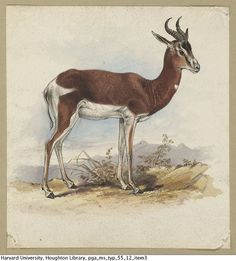 "houghtonlib: "" Lear, Edward, 1812-1888. Drawing of an antelope, 1830s. MS Typ 55.12 Houghton Library, Harvard University """