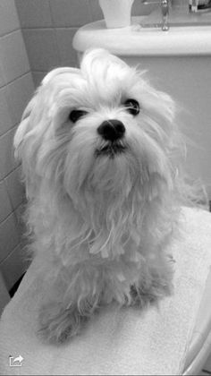 Reunited March 31 ·    Good evening FB friends . Another family is heart broken ! Rick , Maltese and Bichon mix was taken from my friends yard ! Please share wide !!Location is on the north side of Bridgeport. Wayne St to be exact. Call 203 9138449