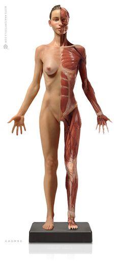 Pixologic > Anatomy Tools Reference Figures > Anatomy Tools Female Medical Figure