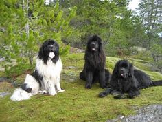 Newfies!!!  This is where I want to get my next dog from.  I LOVE the Landseers