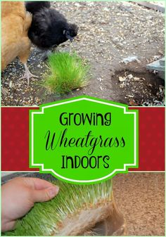 How to Grow Wheat Grass for Chickens Backyard Poultry, Chickens Backyard, Growing Tomatoes Indoors, Grow Tomatoes, Dried Tomatoes, Growing Wheat Grass, Best Tasting Tomatoes, Chickens In The Winter, Chicken Feed