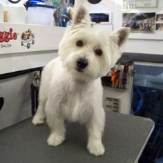 Westie puppy the way they should be groomed