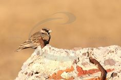 Ashy-crowned Sparrow Lark male stock photo