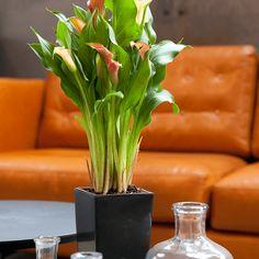 Rode Calla Waterfresh® Large | Easy Indoor Plants. De plant wordt geleverd in een stijlvolle pot met het unieke watergeefsysteem van Waterfresh. Deze geeft de plant vanzelf water wanneer hij dorstig is.