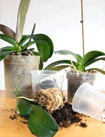 Repotting an orchid is considerably different than repotting other house plants.