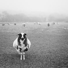 Great photo - love the sheep shape!  damaphoto:  baa by Suzi Marshall on Flickr.
