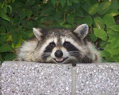 raccoon by Brett NJ, via Flickr