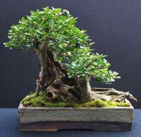 glossy_privet_bonsai1
