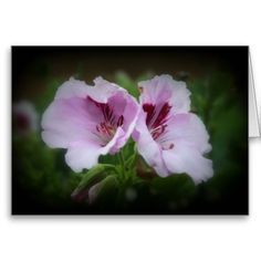 """Geranium Flowers"" design by #Kay Novy #kkphoto1 #geranium #floral  #greeting card      http://www.zazzle.co.uk/geranium_flowers_cards-137549543611680241"