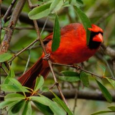 Everyone loves the Cardinal ~ with that bright red look the males have, who wouldn't?! Even though they can be a bit demanding...just try letting the feeders go empty ~ they definitely put on a show!