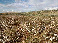 Plantació de cotó integrat a Andalusia/ Integrated cotton plantations in Andalusia (Spain)