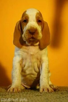 Potential braco italiano puppy