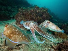 Cuttlefish photo shoot today on Koh Haa! Perfect models! Aren't they beautiful? #cuttlefish