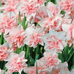 Add some rosy radiance to your garden with the Delnashaugh Daffodil Super Sak, a collection of delightfully fragrant pink and white double daffodils. Daffodil Bulbs, Daffodil Flower, Bulb Flowers, Daffodils, Cactus Flower, Ranunculus Flowers, Paper Flowers, Spring Flowering Bulbs, Spring Bulbs