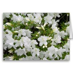 Shop White Azalea Bush Flowers in Bloom All Occasion created by alleyshirts. Home Landscaping, Tropical Landscaping, Landscaping With Rocks, Front Yard Landscaping, Mulch Around Trees, Azalea Bush, White Azalea, White Carnation, Front Yard Design