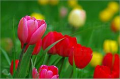 Tanja Riedel - Rote und Gelbe Tulpen Wiese