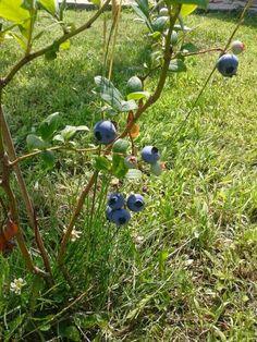 A tiny blueberry Bush