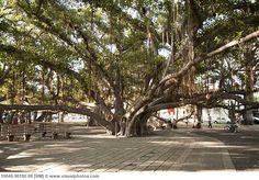 Google Image Result for http://www.visualphotos.com/photo/1x9189079/hawaii_maui_lahaina_the_lahaina_indian_banyan_tree_10049-90192-08.jpg