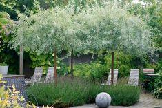 Pyrus salicifolia & buxus sempervirens -Almbacken - Another! Back Gardens, Small Gardens, Outdoor Plants, Outdoor Gardens, Hosta Gardens, Pyrus, Garden Trees, Plantation, Dream Garden