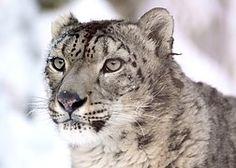 Snow Leopard, Portrait, Looking, Stare