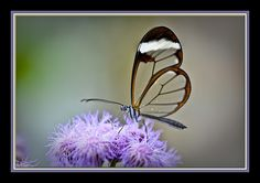 Glass-winged butterflies..isn't that the coolest?
