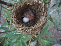 Southwestern Willow Flycatcher nest. The SWWF has been Federally listed as endangered since 1995, and is threatened by loss of habitat and other pressures brought with increased populations within the range.