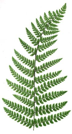 For my bouquet: ferns