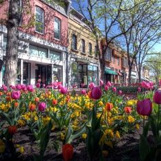 Beautiful tulips in downtown Boulder, Colorado.  Go to www.YourTravelVideos.com or just click on photo for home videos and much more on sites like this.