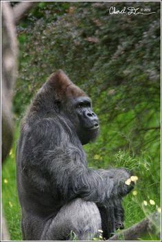Charlie Duncan - Duncan Digital Photography: Gorilla