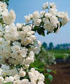Mock Orange Mock Orange (Philadephus 'Virginal') is a vigorously growing, fragrant, ornamental shrub that produces masses of semi-double creamy-white flowers in spring. One of the strongest ornamental shrubs that tolerates virtually any type of soil. Height supplied 60-80 cm.