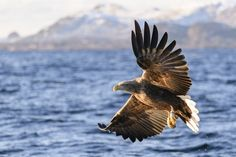 White-tailed eagle or sea eagle (Haliaeetus albicilla) hunting in the sky over a Fjord near Vesteralen island in Northern Norway.