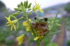 유채꽃위의 청개구리