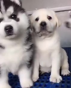 Lab Puppies Cute Baby Huskies are just adorable. Cute Funny Animals, Cute Baby Animals, Funny Dogs, Animals And Pets, Cute Animal Videos, Cute Animal Pictures, Cute Puppy Videos, Cute Dogs And Puppies, I Love Dogs