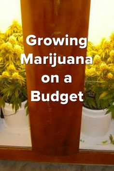 Growing Marijuana on a Budget