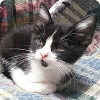 Domestic Longhair Kitten for adoption in Dallas, Texas - ELIOT