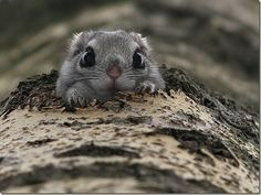 japanese dwarf flying squirrel - it's hard to believe these aren't Manga inventions, but nope - they're ACTUAL animals