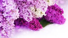 lavender flower hd picture